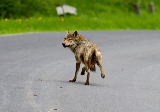Wilki na drogach i w pobliżu zabudowań to już prawie codzienny obraz w Bieszczadach.