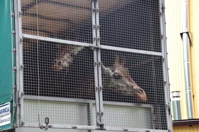 W Nowym Zoo w Poznaniu zakończyła się przeprowadzka żyraf. Jak informuje ogród zoologiczny z pomocą doświadczonej ekipy transportowej z Zoo Dvur Kralove żyrafy zostały w piątek, 28 maja przewiezione do nowego domu. Teraz zwierzęta muszą odpocząć i zapoznać się z  nowym otoczeniem, nauczyć się przechodzić do poszczególnych pomieszczeń - boksów w stajni na zapleczu, na wybieg wewnętrzny, na wybiegi zewnętrzne. Potrwa to zapewne kilka tygodni. Zobacz zdjęcia z transportu. Przejdź dalej --->  Zobacz też: Mieszka na 9 m kw: