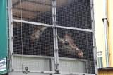Żyrafy z poznańskiego zoo są już w nowym domu! Zobacz zdjęcia z transportu