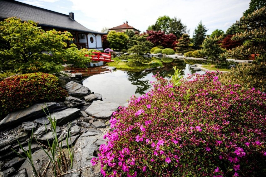 Przepiękne azalie i rododendrony w Pisarzowicach pod...