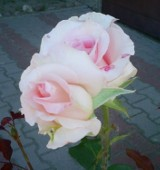 Róże: nie tylko różowe - fotogaleria