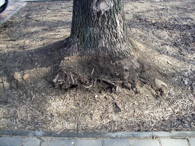 Drzewo przy Legionów