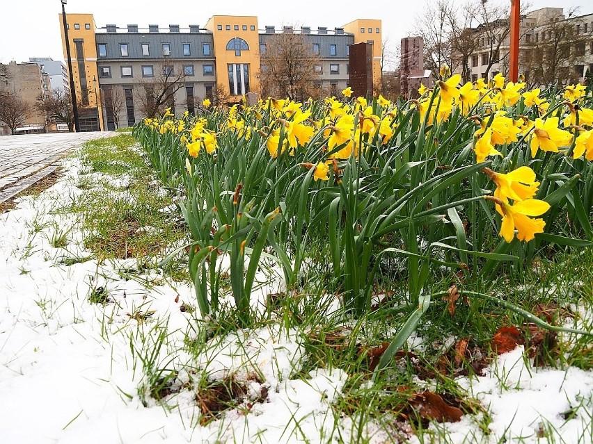 W Łodzi spadł śnieg. Zima nie odpuszcza, choć to już niemal połowa kwietnia. Synoptycy zapowiadają jeszcze wiele zimnych dni