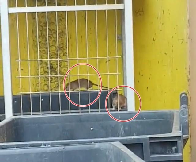 Szczury grasują w śmietnikach na Piaskowej Górze w Wałbrzychu. Ich otoczenie daje do myślenia...