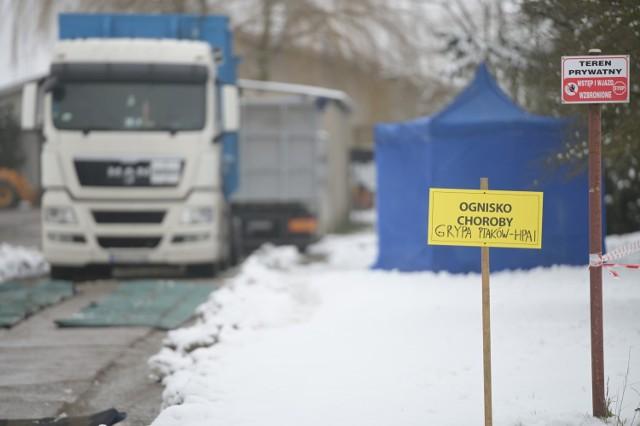 W Linowie w powiecie grudziądzkim wykryto ptasią grypę. Wybitych zostanie 11 tys. indyków