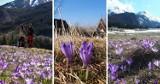 Krokusy 2021. TOP 10 miejsc gdzie możemy podziwiać piękne fioletowe kwiaty na Podhalu [11.04.21]