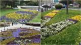 Tarnów mieni się kolorami kwiatków. Zakwitły na skwerach, w parkach i przy ulicach w mieście [ZDJĘCIA]