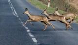 Rzeź na drogach. Policja w Czarnkowie apeluje do kierowców: uważajcie na dzikie zwierzęta! [DRASTYCZNE ZDJĘCIA]