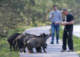 Dziki w Świnoujściu są wyjątkowo przyjazne. Jedzą z ręki!