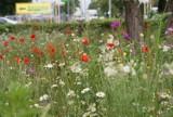 Kwietna łąka przed budynkiem Goleniowskich Wodociągów i Kanalizacji