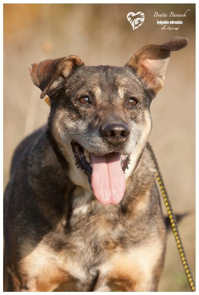 Texas ma 10 lat i od kwietnia mieszka w bydgoskim schronisku. Bierze udział w szkoleniu Lira.  Do azylu przyjechał z Koronowa. Niezbyt dogaduje się z innymi psami, dlatego w nowym domu powinien być psim jedynakiem.  Jego numer ewidencyjny to 230/17.
