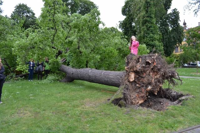 Drzewo przewróciło się w Gliwicach