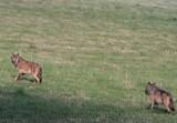 Organizacje ekologiczne chcą stwierdzenia nieważności decyzji zezwalającej na odstrzał wilków.
