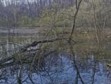 Leśnicy przywrócili do życia staw w leśnictwie Odrzykoń. Nad akwen wróciły wodne ptaki i bobry [ZDJĘCIA]