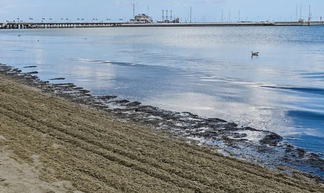 """""""Widok poraża, smród też"""" - mówią zniesmaczeni mieszkańcy kurortu i dodają, że ich zdaniem, problem śmierdzących glonów nasilił się w Sopocie po wybudowaniu mariny."""