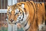 Tygrysy uratowane przez zoo w Poznaniu:  W niedzielę tygrysy wyjadą do Hiszpanii