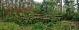 Wiatr narozrabiał w lesie pod Goleniowem. Połamane dęby