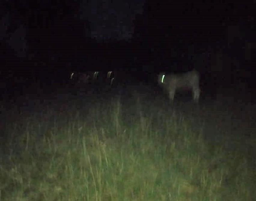 Gmina Sieraków. Wilk zaatakował krowę w Kłosowicach. Mamy nowe informacje [FOTO]