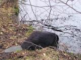 Bóbr trafił nad jezioro, może tam szukać żony