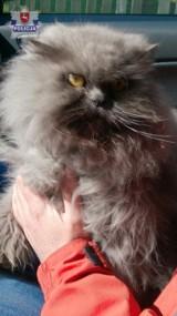 Kradzież w Lubartowie: Dwoje mieszkańców ukradło kota perskiego