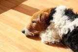 Wyją, szczekają i niszczą. TOP 10 ras psów, które nienawidzą być same w domu [20.10.2021]