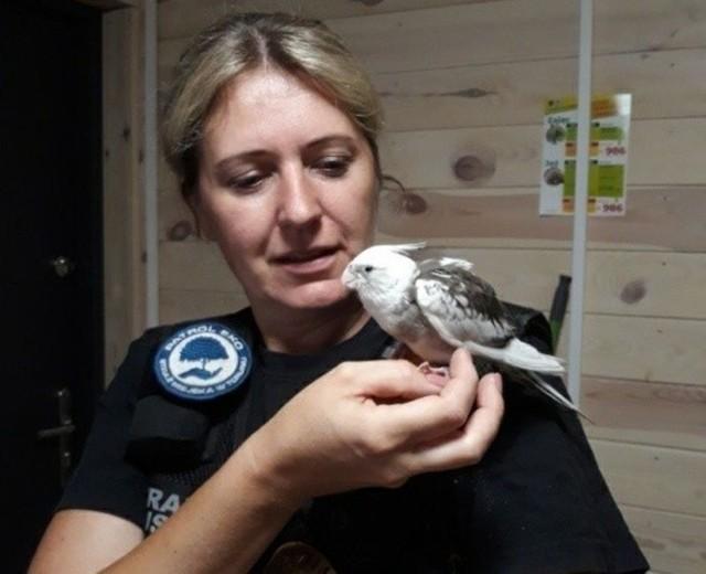 Papuga nimfa czeka na właściciela w siedzibie Straży Miejskiej