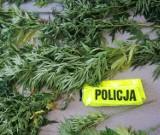 Policjanci zlikwidowali dwie plantacje konopi indyjskich w powiecie piotrkowskim