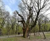Dąb Mieszko - jedno z najstarszych drzew w Polsce nie będzie objęte monitoringiem?