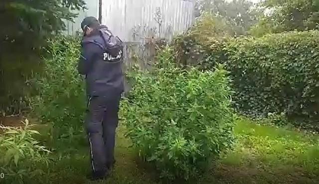Policjanci z Wągrowca przejęli plantację konopi. Rośliny zostały zabezpieczone do badań