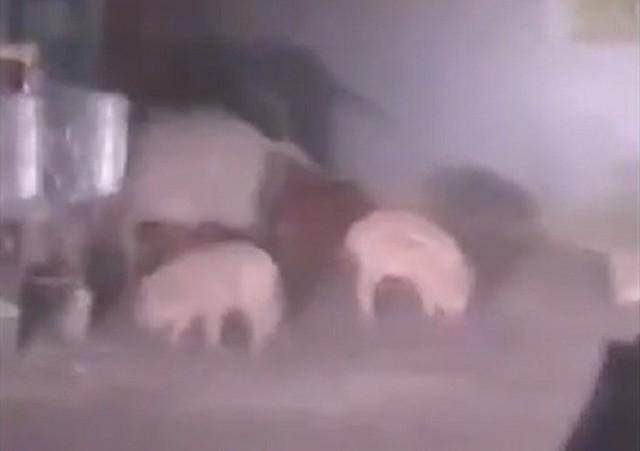Stado kilkunastu dzików zostało nagrane przez jednego z Czytelników. W późnych godzinach wieczornych dziki przecięły drogę kierowcom na os. Pomorskim.