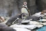 Tej zimy nawet pingwiny marzną! Ulubieńców ze śląskiego zoo zobaczymy dopiero wiosną, bo teraz jest im... za zimno