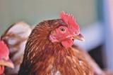 Lisewo - ognisko ptasiej grypy - wojewoda ogłosił strefy zapowietrzenia i zagrożenia - gdzie?