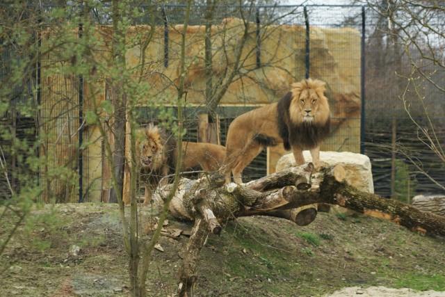 W opolskim ZOO można oglądać już lwy i tygrysa.