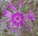 Fioletowe i różowe kwiaty dziko rosnące [FOTOGALERIA]