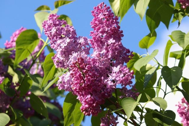 Krzewy, które noszą oficjalną nazwę lilak, najczęściej zwiemy bzami. Bez względu na nazwę są to jedne z najwspanialszych kwitnących krzewów, jakie można mieć w ogrodzie: mają przepiękne i pachnące kwiaty, a do tego – minimalne wymagania. Lilaki są tolerancyjne w stosunku do ziemi, są odporne na mróz i znoszą przejściową suszę. Jednak jeśli chcemy, żeby dobrze kwitły, musimy je posadzić w słonecznym miejscu. Gdy będę miały za mało światła – nie zakwitną.  Lilaki maja coraz więcej odmian, niektóre są mocno uszlachetnione, jeśli jednak zależy nam na mało wymagającej roślinie, wybierzmy lilaka pospolitego. W jego przypadku zabiegi pielęgnacyjne ograniczą się tylko do przycięcia pędów (zaraz po tym, kiedy przekwitnie). Dzięki temu w następnym sezonie będzie miał dużo kwiatów. Lilaki pospolite są odporne na mróz, czasową suszę (choć wolą wilgotną ziemię) nie muszą mieć też żyznego podłoża.