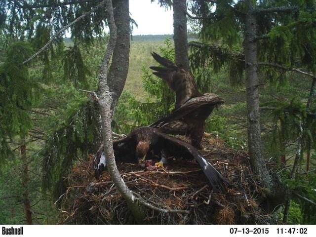 Z informacji Birding Poland wynika, że zarówno zwierzę, jak i jego matka zaobrączkowane zostało w Estonii przez Gunnara Seina