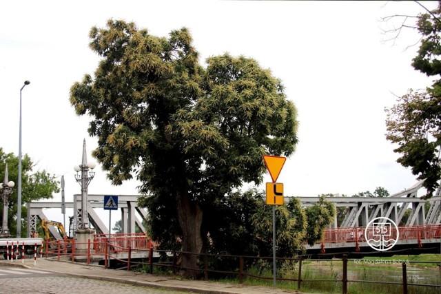W Krośnie Odrzańskim w tym roku ma rozpocząć się inwestycja związana z podniesieniem mostu oraz budową ronda. Drzewo ma zostać usunięte, aby można było wykonać zadanie.