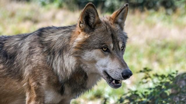 Wilki pojawiły się w rejonie Braciejowej