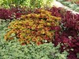 Rośliny o najbardziej kolorowych liściach. Polecamy 16 gatunków do ogrodu i na balkon