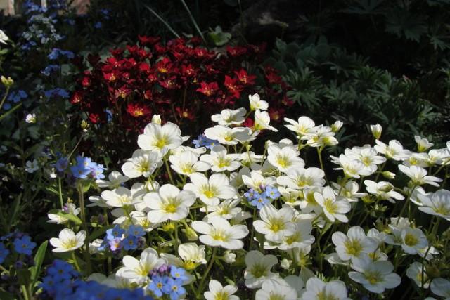 Są rośliny, które lubią lekki cień i będą dobrze rosły na skalniaku. Oto one.