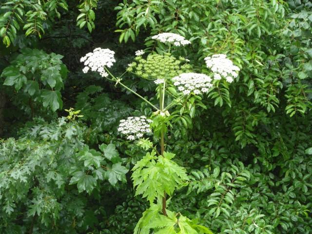 Przy ul. Myśliborskiej w Gorzowie Wlkp. pojawiły się już charakterystyczne białe kwiatostany barszczu Sosnowskiego.