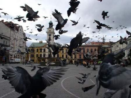 Gołębie okazują się zagrożeniem dla cieszyńskiej starówki.