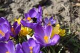 Nareszcie wiosna w Przemyślu i okolicach. Owady szukają pyłków [ZDJĘCIA INTERNAUTKI]