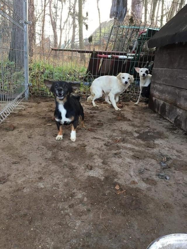 11 psów zostało odebranych mieszkance Węgorzyna w gminie Ryńsk w powiecie wąbrzeskim, która trzymała je w skandalicznych warunkach