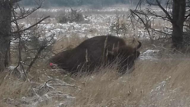 Pracownicy Białowieskiego Parku Narodowego w ubiegłym tygodniu wieczorem odebrali zgłoszenie o żubrze w zagajniku na łąkach Łozowe (gmina Narewka), który ma na nodze linkę z umocowanym do niej kawałkiem drewna.