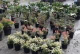 Zobacz, jakie kwiaty, krzewy i drzewka można kupić na giełdzie na Załężu w Rzeszowie [ZDJĘCIA]