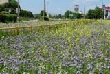 Zobaczcie, jak wygląda łąka kwietna w Inowrocławiu. Pszczoły ją polubiły, a Wy? Zobaczcie zdjęcia