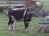 Kolejna interwencja w gospodarstwie w gminie Rudniki. Chora krowa resztę życia spędzi w schronisku