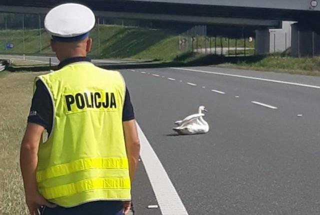 Łabędź siedział na autostradzie i blokował ruch samochodów.
