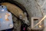 Wałbrzych: Uratowali dzika uwięzionego w studzience kanału [ZDJĘCIA]